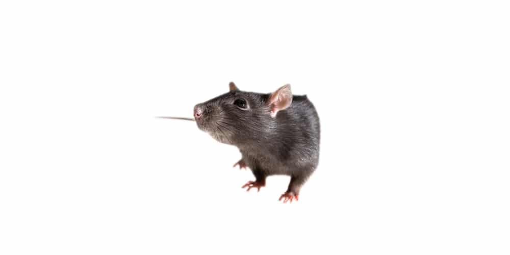 rodent rat control company anaheim hills orange county yorba linda