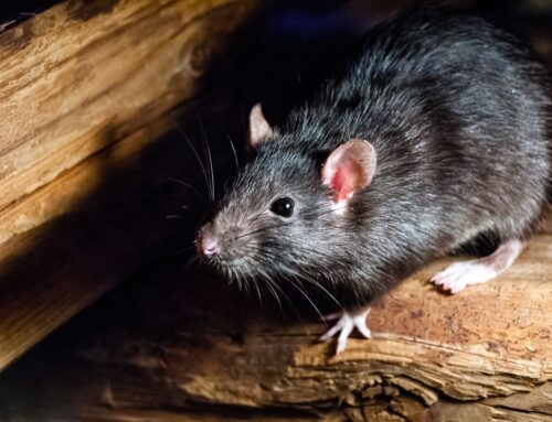 Removing Rodents from Walls and the Attic