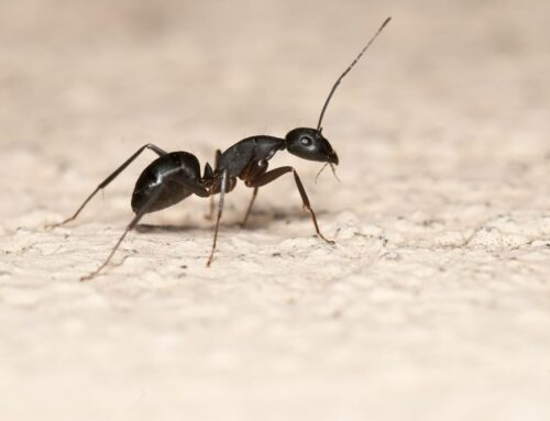 Tips for an Ant-Free Home