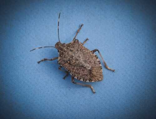 What You Need to Know About Stink Bugs