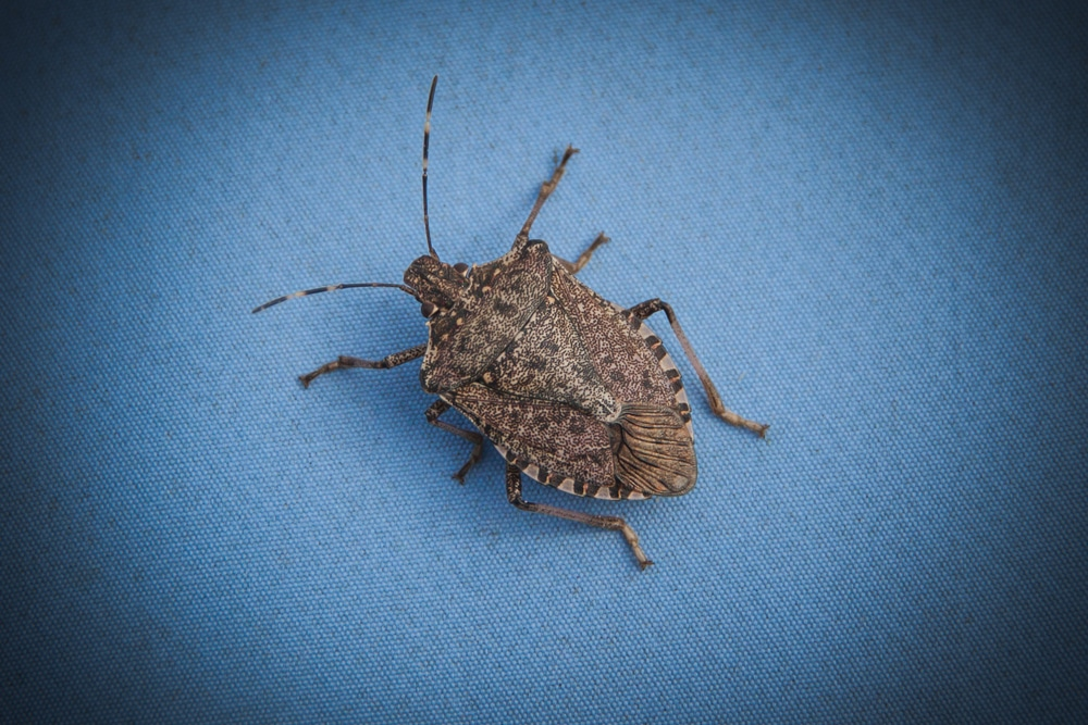 stink-bug-pest-control-service-anaheim-yorba-linda-orange-county